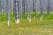 Dead Pines in Hotspring Meadow