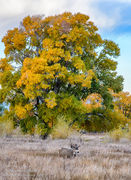 Colorado,Fall color,Medano Ranch,Zapata Ranch, Mule Deer