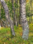 Scottish Birch