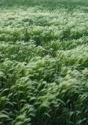 foxtail barley,Colorado,Chico Basin Ranch