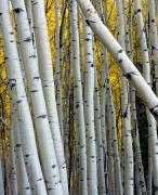 aspen,Kebler Pass,Colorado