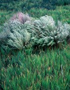 Sand Sage,Buffalo Grass,Chico Basin Ranch, Colorado