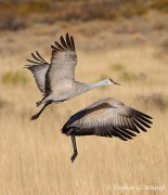 Sandhill cranes,flight,Bosque del Apache,birds