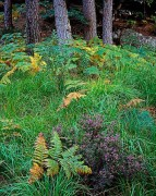Scotland,heather,ferns