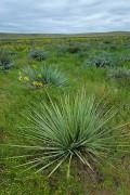 Prairie Yucca