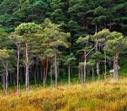 Scots pine, Scotland,