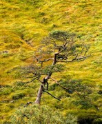 Scotland,pine