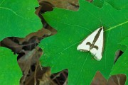 Moth on Oak Leaf