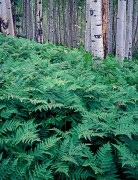Ferns and Aspen