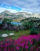 Snowy Range Fireweed