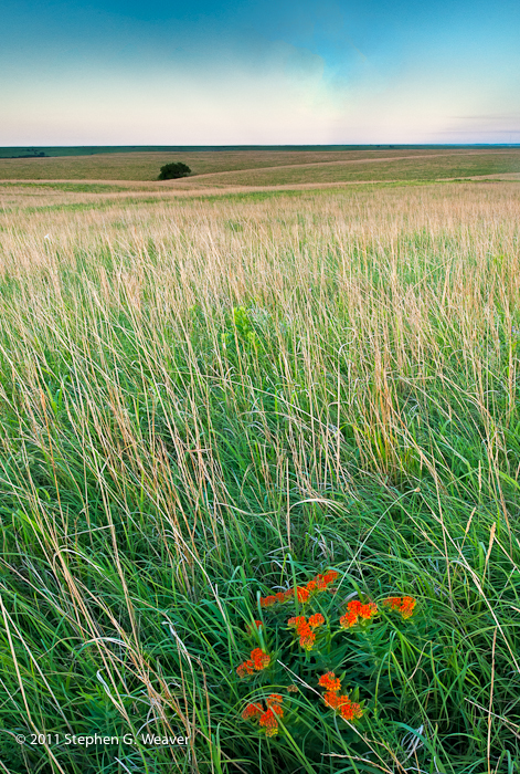 grass,Kansas, wildflowers,Butterfly Milkweed, photo