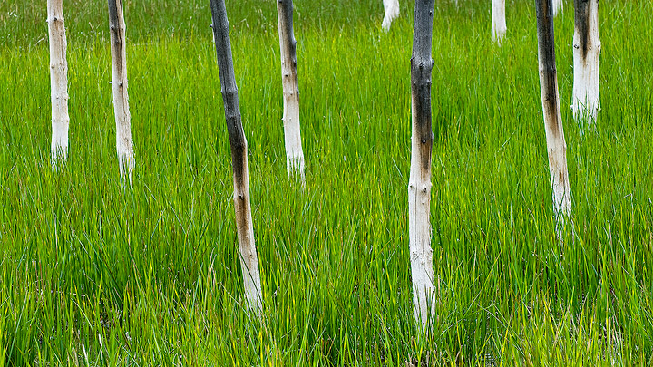 trees,Yellowstone,green,grass, Yellowstone National Park               	, photo