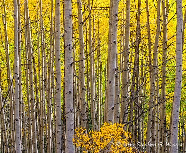 aspen,autumn,, photo