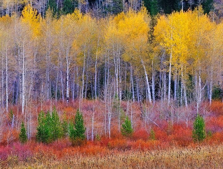 aspen,Fall color,Teton NP,Wyoming,willows,, photo