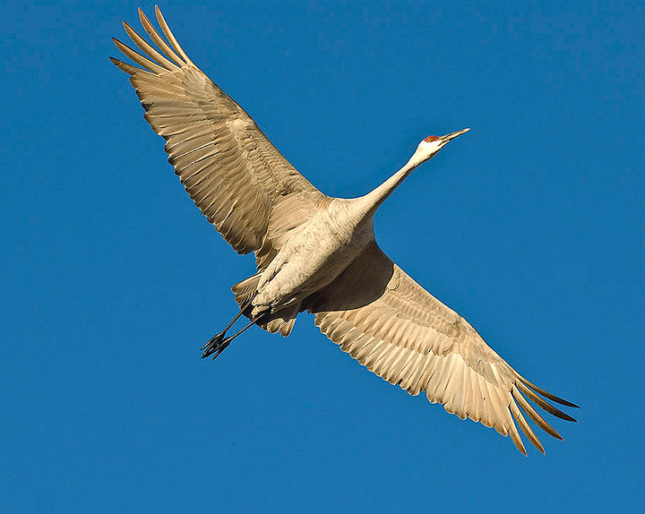 birds,cranes,cranes in flight,sandhill cranes,Bosque del Apache NWR,, photo