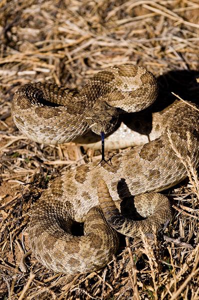 Chico Basin Ranch, Spring, rattlesnake                , photo