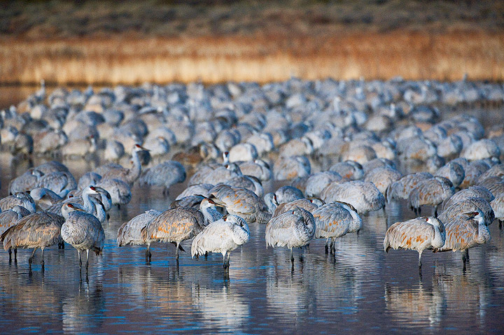birds,cranes,sandhill cranes,Bosque del Apache NWR,NWR       	, photo