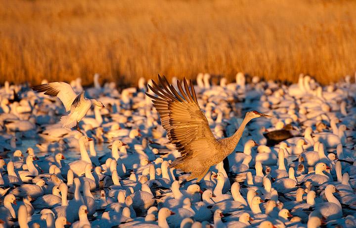 birds,cranes,sandhill cranes,Bosque del Apache NWR,snow geese,geese, photo