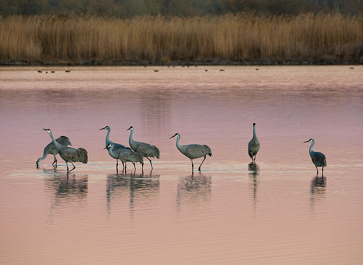 birds,cranes,sandhill cranes,Bosque del Apache NWR,        	, photo