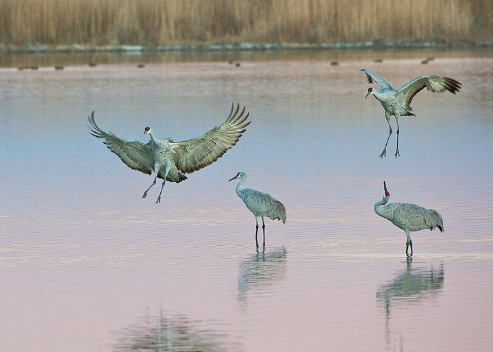 birds,cranes,cranes flying,sandhill cranes,Bosque del Apache NWR,, photo