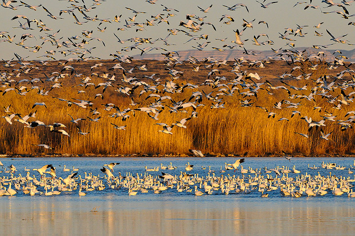 birds,snow geese,Bosque del Apache,National Wildlife Refuge, photo