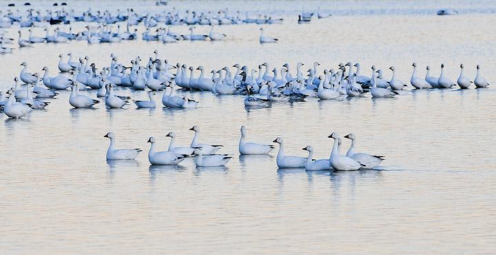 birds,snow geese,geese,Bosque del Apache NWR,, photo