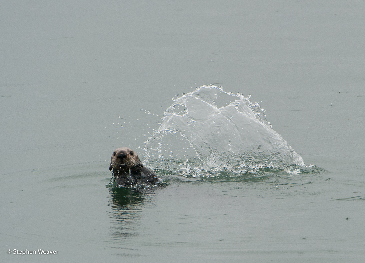 Alaska,Fingers Bay,Glacier Bay NP, Sea Otter, photo