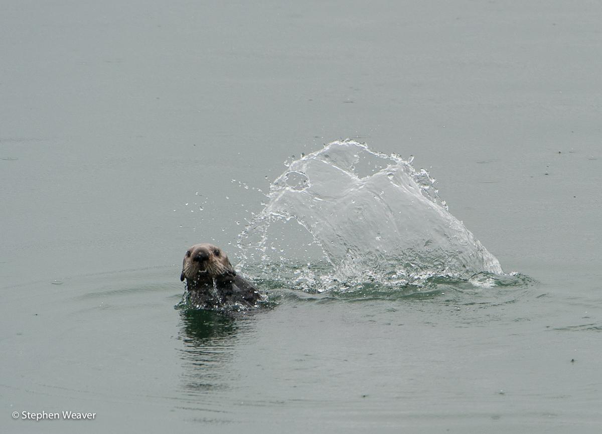 Alaska,Fingers Bay,Glacier Bay NP, Sea Otter, photo