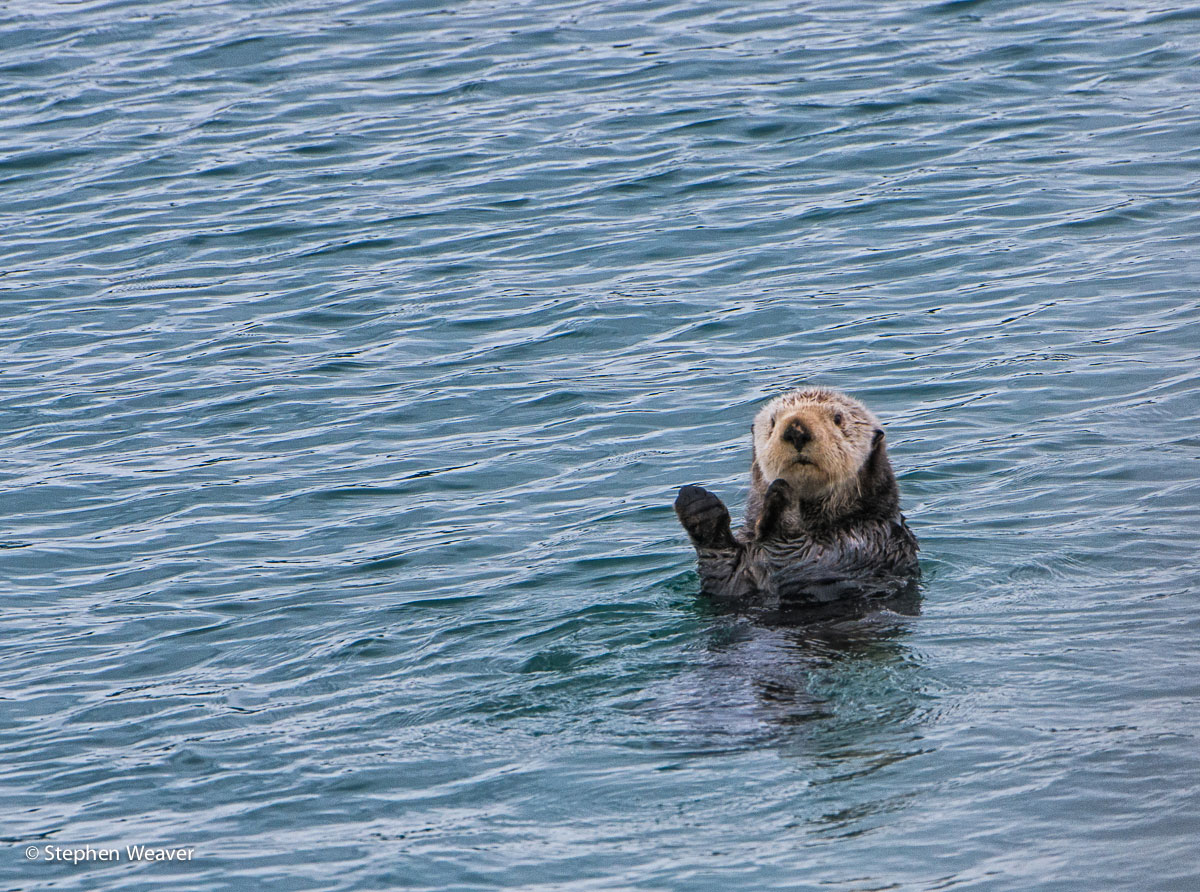 Alaska, Sea Otter, Glacier Bay NP, photo