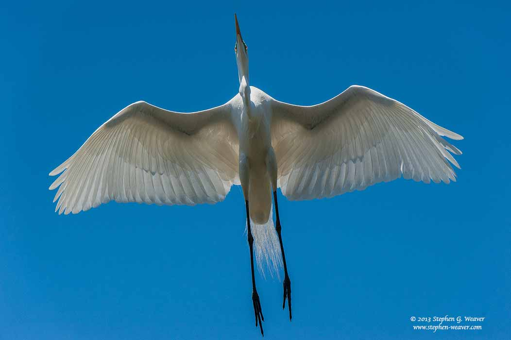 Great Egret, Florda, photo