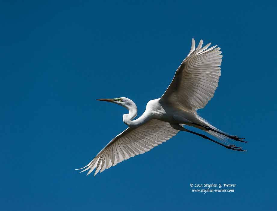 Great Egret, Florida, photo