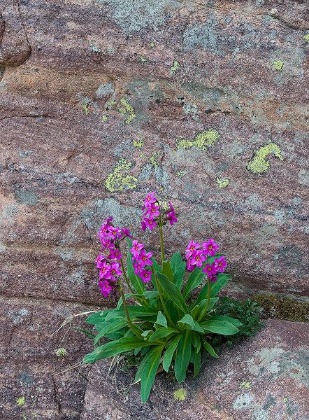 Uinta Mountains, Utah,wildflowers                , photo