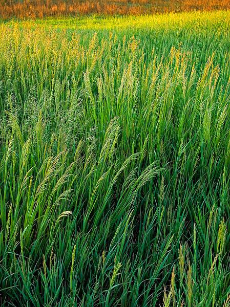 grass,Kansas,prairie,sunrise, photo