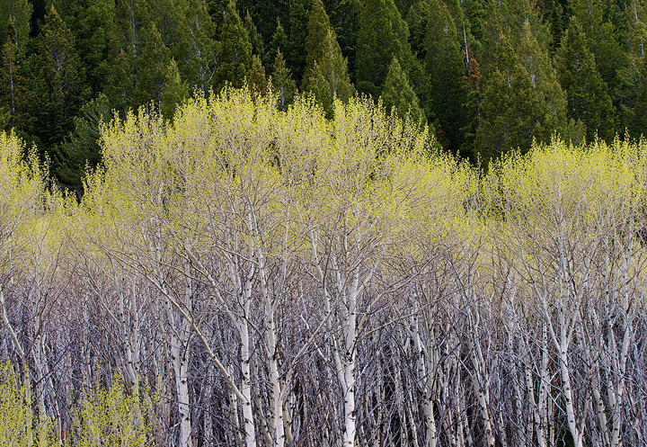 aspen,Spring,growth,Red Rocks Lake National Wildlife Refuge, Montana               	, photo