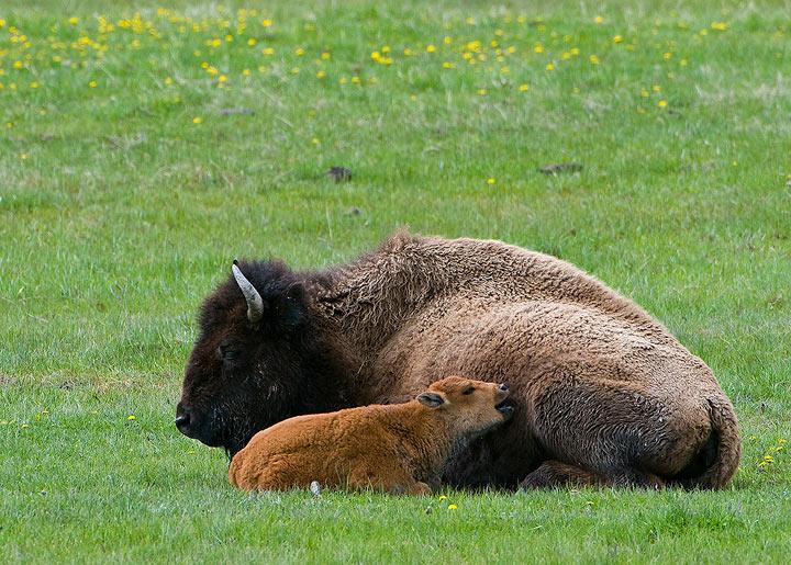 Bison, Wyoming, Yelllowstone NP, mammals,Yellowstone                , photo