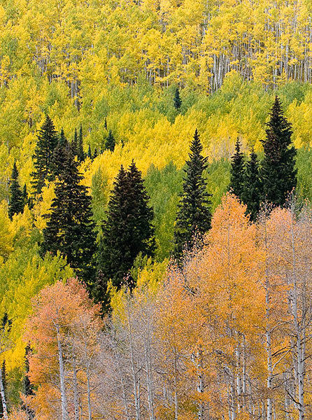 aspen,Fall,Crested Butte, Colorado,conifers              	, photo