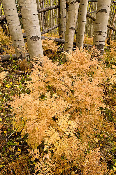 aspen,Autumn,Kebler Pass,ferns,Colorado,Gunnison NF               	, photo