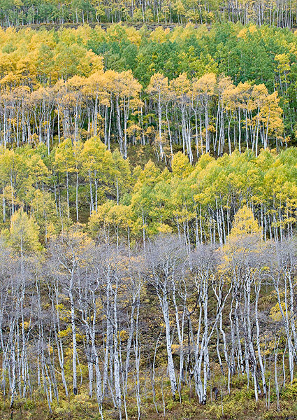 aspens,Fall color,Colorado,Crested Butte,Gunnison NF                	