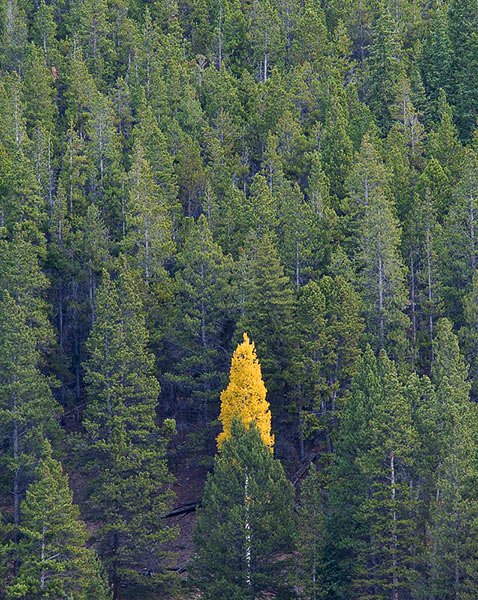 aspen,Autumn,Colorado, Sawatch Range,conifers               	, photo
