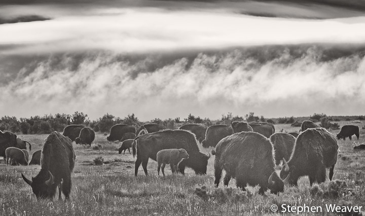 bison,Medano Ranch, Colorado, photo
