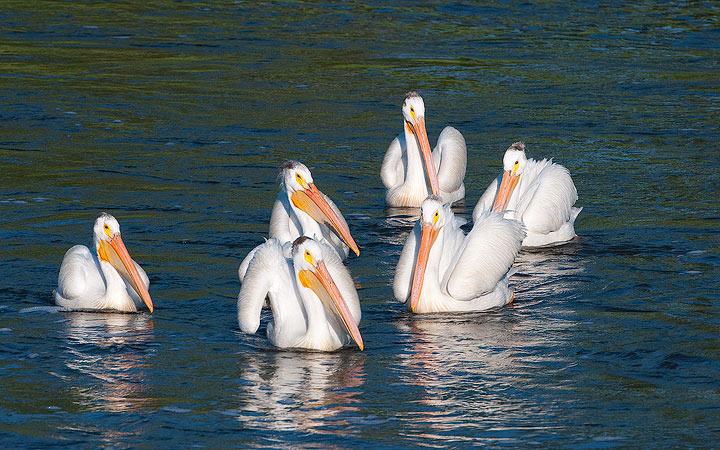 White Pelican on the Wild Rice River, Tewaukon National Wildlife Refuge, North Dakota