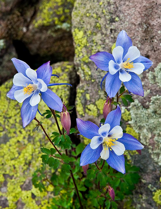 Three Colorado Columbines, the state flower, grow in the talus near Cumbres Pass in the south San Juan Mountains, Colorado