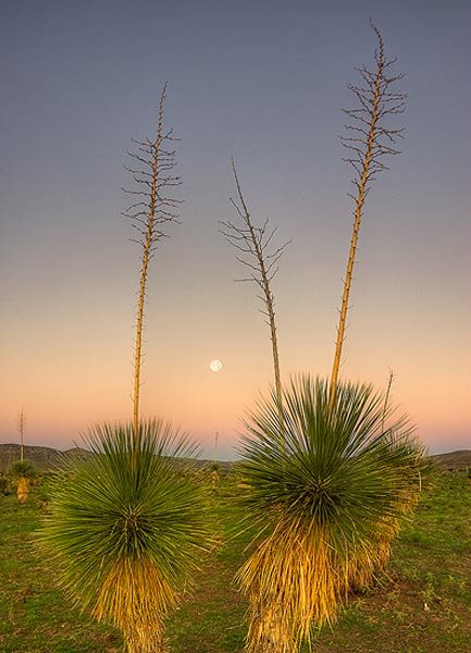 moon-set,sunrise,yucca,Arizona,earth Shadow,Pelloncillo Mountains, photo