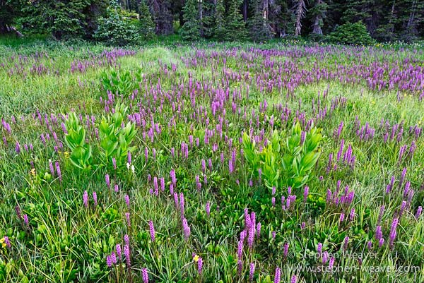 alpine,flowers,blooming wild flowers,wildflowers,Colorado,South San Juan Wilderness,elephant heads, photo