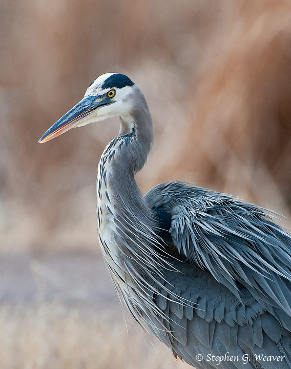 Great Blue Heron,birds,Bosque del Apache,New Mexico, photo