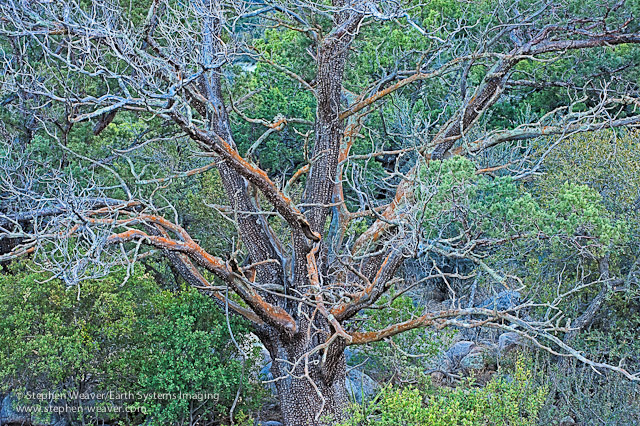 A bare Alligator Juniper tree in the Organ Mountains of New Mexico