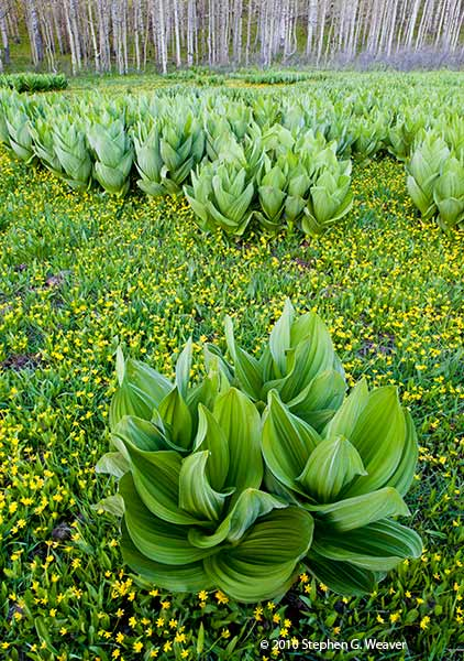Corn Liilies also known as False Hellesbore grow in a meadow along the Kebler Pass Road, Colorado