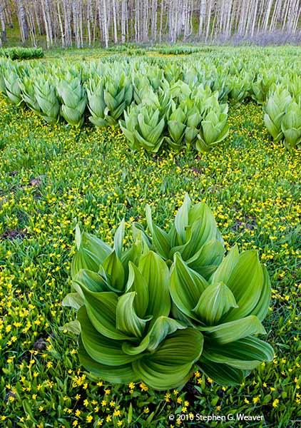 False Hellesbore, Corn Lilly, meadow,Colorado, photo