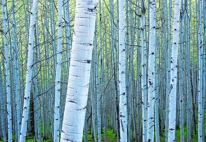 Early morning shade light casts a pale blue tone on a Spring aspen grove in Colorado