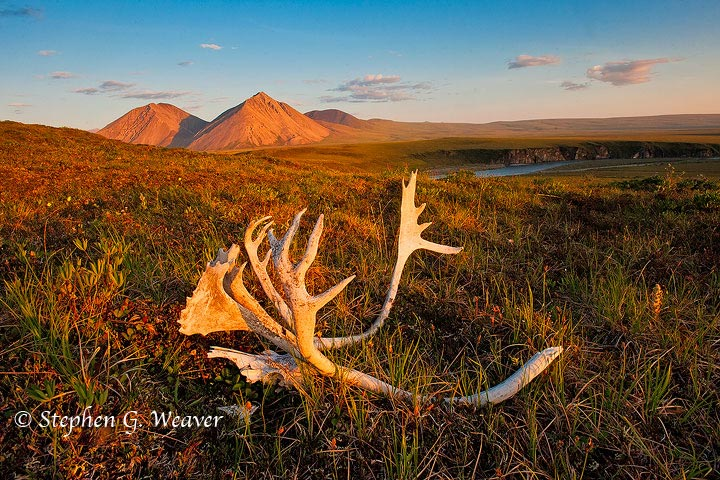 ANWR,Arctic National Wildlife Refuge,caribou,antlers, photo
